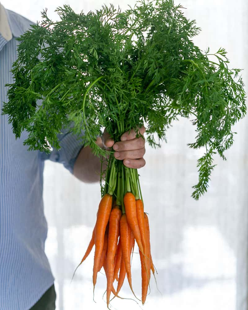 Handheld bunch of fresh baby carrots with greens attached