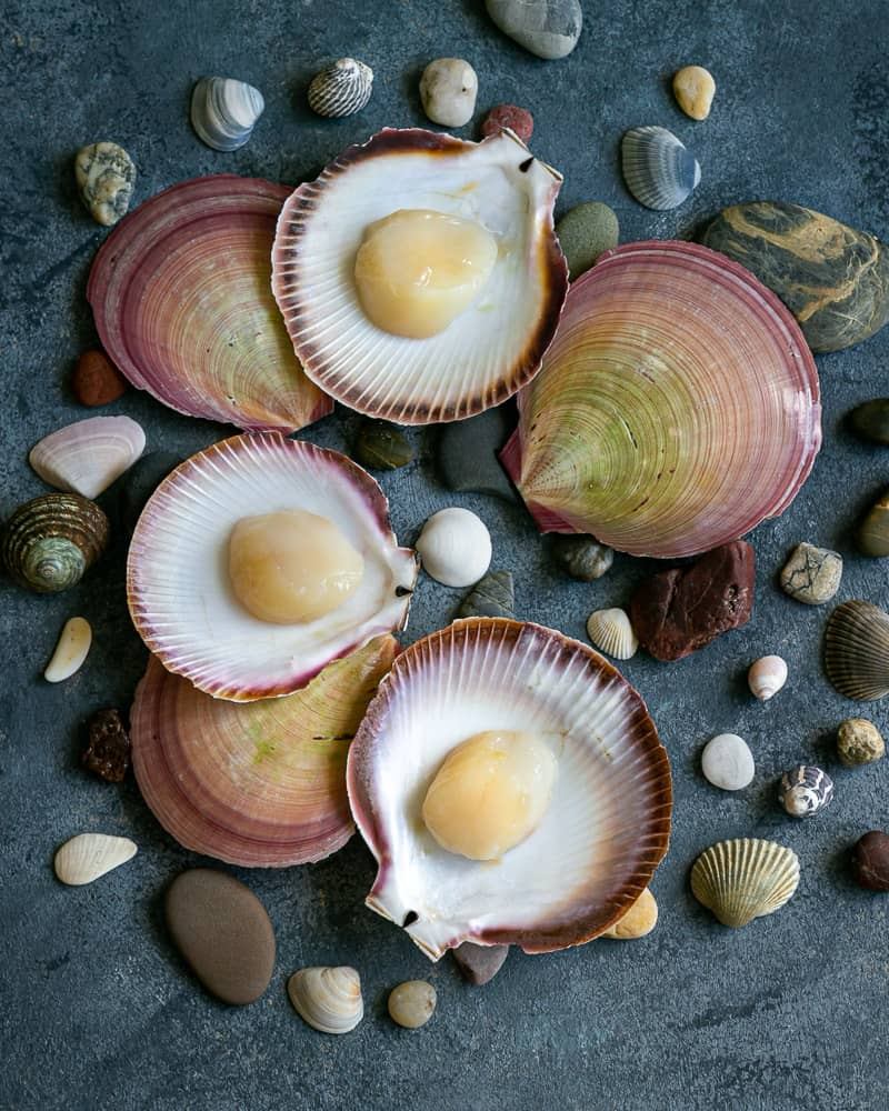 Freshly shucked scallops in their shells